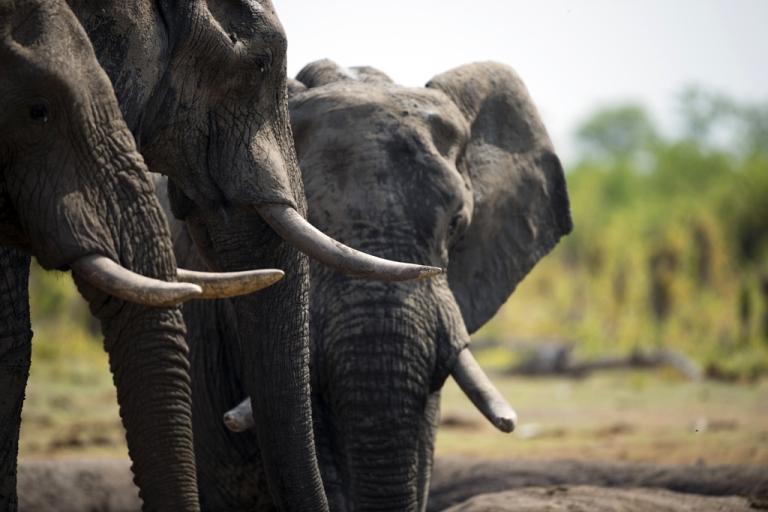 <p>African elephants in Hwange National Park in Zimbabwe.</p>