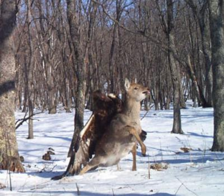 <p>A camera trap set out for endangered Siberian (Amur) tigers in the Russian Far East photographed something far more rare: a golden eagle capturing a young sika deer.</p>
