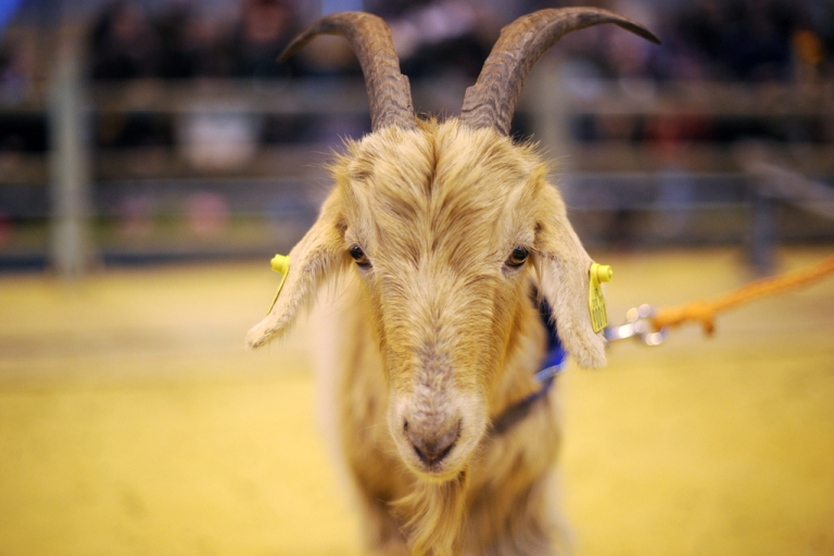 <p>A goat is pictured on March 4, 2010 in Paris, during the international agricultural fair.</p>