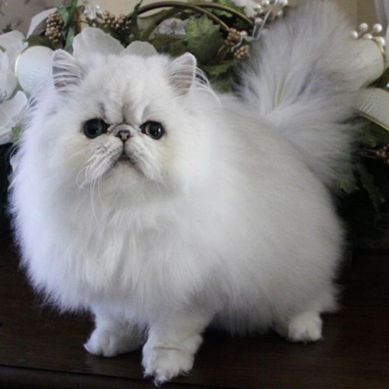 <p>A fluffy Persian cat.</p>
