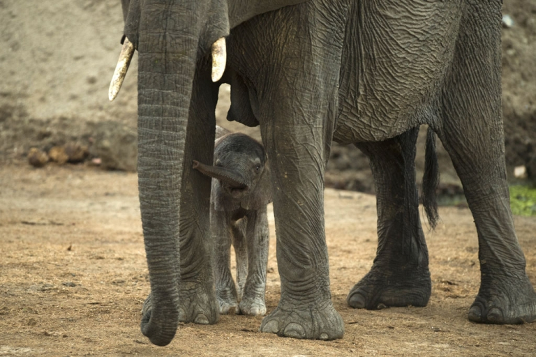 <p>An African elephant and her baby are pictured on November 17, 2012 in Hwange National Park in Zimbabwe.</p>