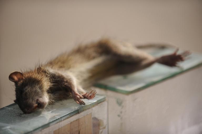 <p>Dead rat.</p>