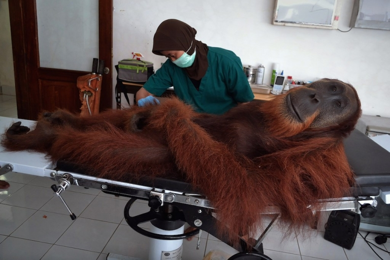 <p>Nope, it's not a manicure. This orangutan was is being treated for pellet gun wounds, at the Sumatran Orangutan Conservation Programme, which has cared for over 280 orangutans rescued from palm oil plantations, poachers and pet owners.</p>