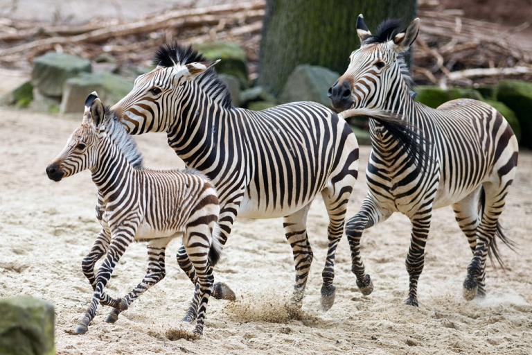 <p>Six weeks old zebra Davu runs next to his mother Nele in their enclosure in the zoo in Hanover, central Germany, on Feb. 21, 2014.</p>