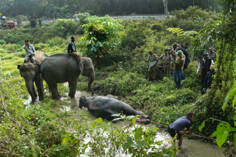 <p>Indian forest workers drag a critically injured elephant calf from marshy land alongside the railway line in the Buxa Tiger Reserve in West Bengal on January 6, 2013. Three elephants, an adult female and two young males, were killed and two calves injured when the speeding Guwahati-bound Jhaja Express crashed into them.</p>