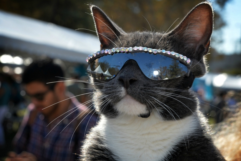 <p>The sunglass cat.</p>
