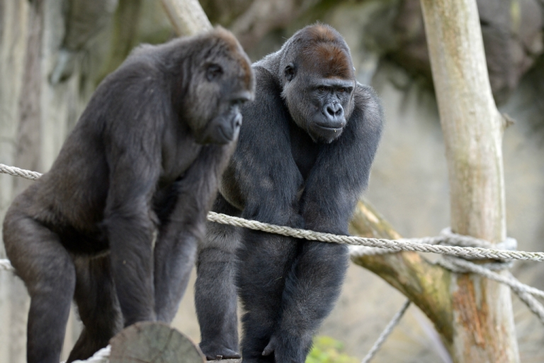 <p>Western Lowland Gorillas explore their new habitat at the Taronga Zoo in Sydney.</p>