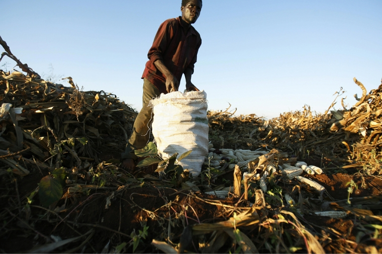 <p>A Malawian land worker harvests maize in Masungo village on the outskirts of the capital Lilongwe.</p>
