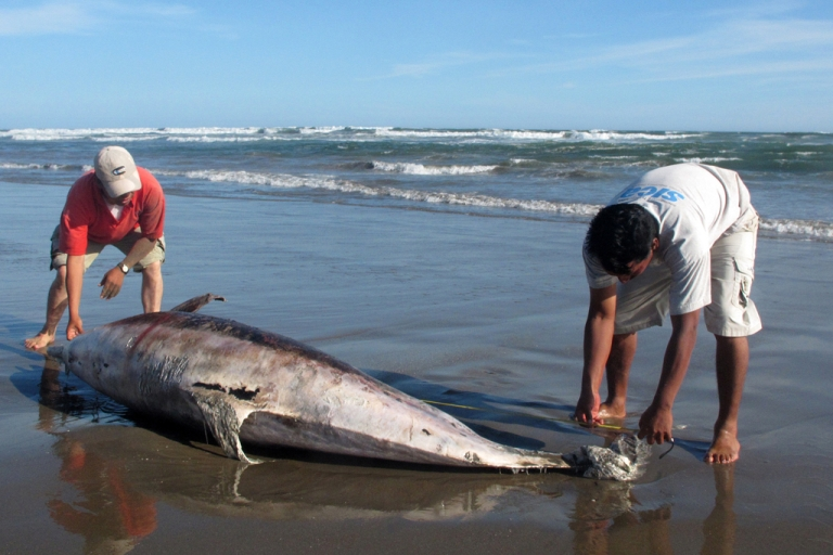 <p>Experts measure a dead dolphin on a beach on the northern coast of Peru, close to Chiclayo, some 750 km north of Lima, on April 11, 2012. Peru is investigated the death of 877 dolphins -- 95 percent of them being of the bottlenose species - which have been found along a 170 km stretch of shore along the Pacific Ocean between January and April that year.</p>
