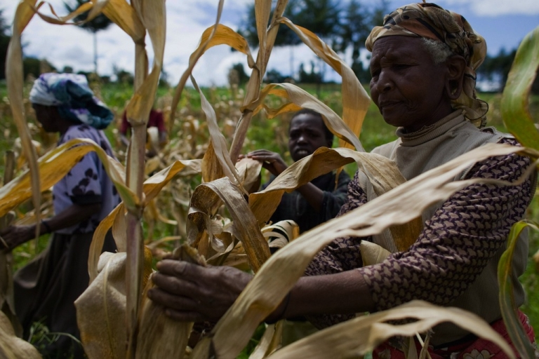 <p>Kenyan farmers pick through their maize crop in a field in the village of Kapsimatwa near the Rift Valley town of Bomet in western Kenya on September 9, 2008.</p>