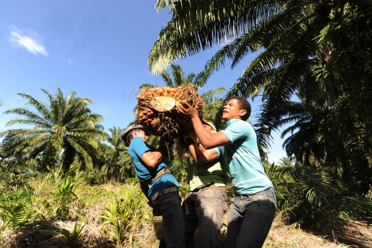 <p>Honduran workers harvesting African palm trees.</p>