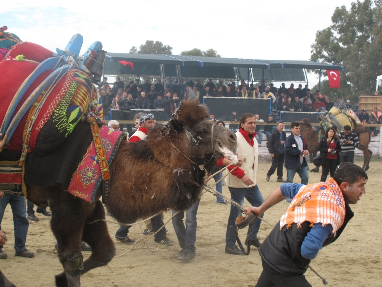 <p>Referees pull camels out of the ring before the animals are able to inflict real harm on each other. The bouts have been criticized by animal welfare groups though organizers insist it's humane.</p>