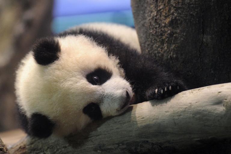 <p>Yuan Zai, the first Taiwan-born baby panda, at the Taipei City Zoo on Jan. 4, 2014.</p>