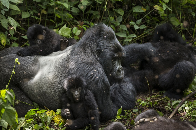 <p>Gorillas move through Virunga National Park on August 6, 2013 in Bukima, DR Congo. Virunga is Africa's oldest national park and home to 200 endangered mountain gorillas.</p>