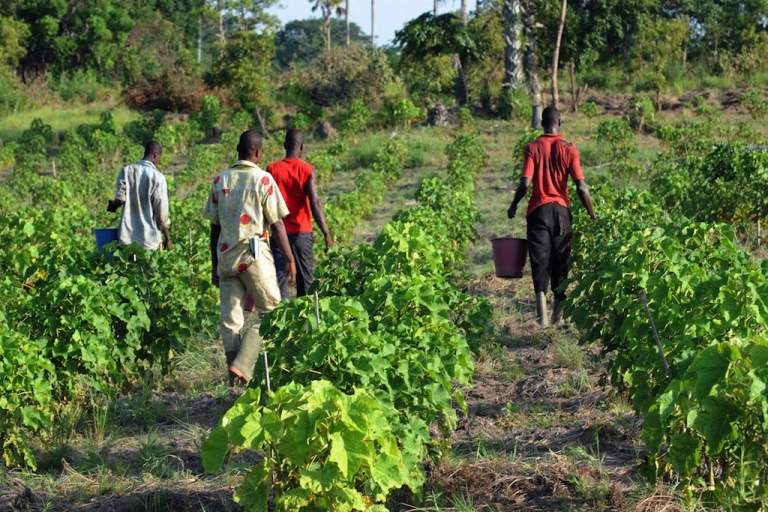 <p>Employees harvest fruits of Jatropha on June 20, 2008 in Taabo, center Ivory Coast. The Jatropha produces a seed oil which can be used as diesel oil substitution for power plant or transportation diesel engine.</p>