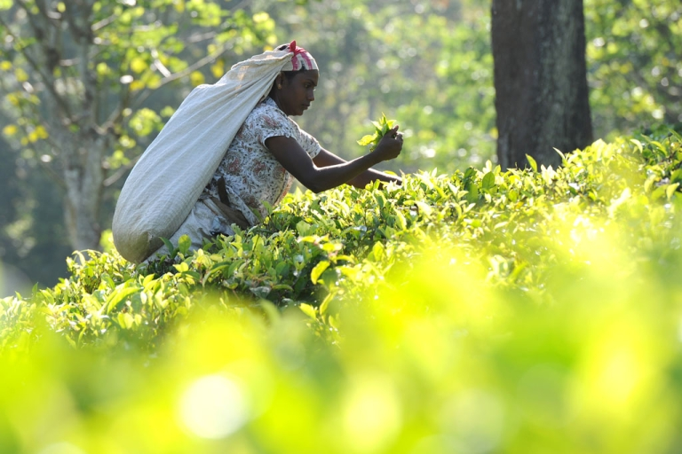 <p>A Sri Lankan tea picker works on a plantation in the central town of Kandy on November 21, 2013. The International Monetary Fund (IMF) expects growth for the current calendar year to be about 6.5 percent, a full percentage point lower than the Sri Lankan central bank's forecast of 7.5 percent.</p>