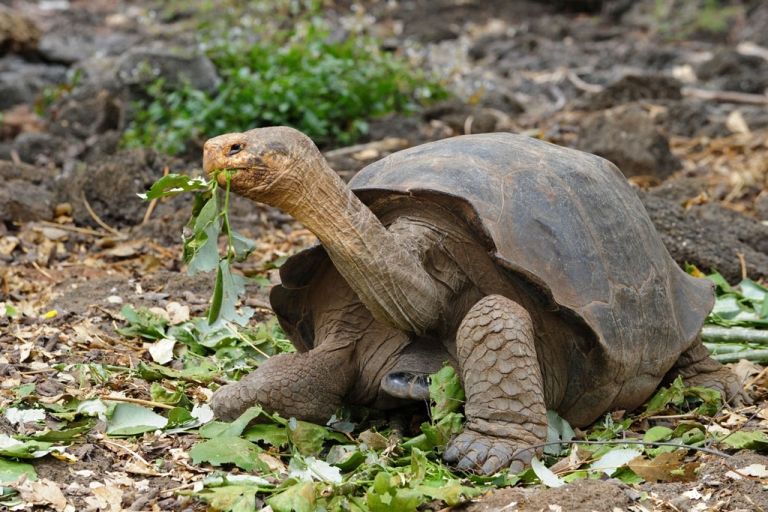 <p>A giant tortoise species walks in a breeding center at the Galapagos National Park in the Galapagos archipelago on June 4, 2013.</p>