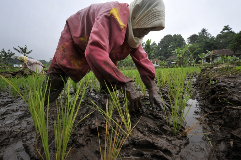 <p>A photograph taken on January 22, 2011 shows an Indonesian farmer as she plants rice seedlings in a paddy field in Bogor, West Java province.</p>