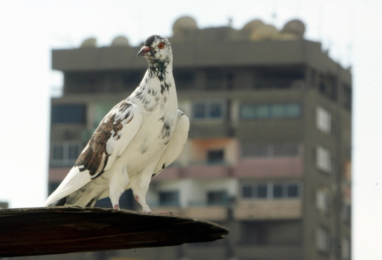 <p>A pigeon stands at the rooftop of a building in Cairo 18 February 2006.</p>