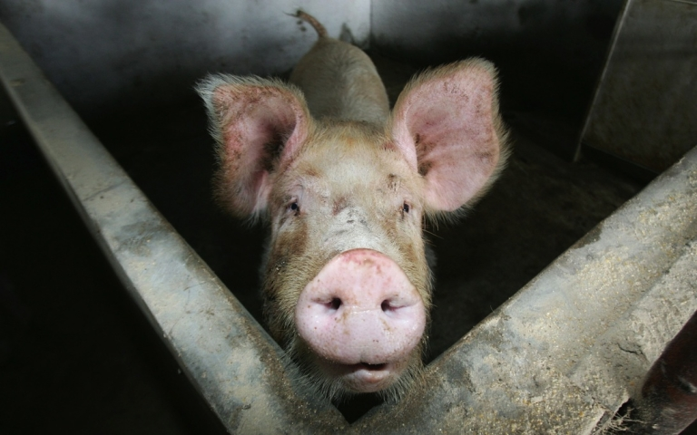 <p>A pig at a pig farm in Lishu County, Jilin Province, in northeast China, on Jan. 17, 2008.</p>