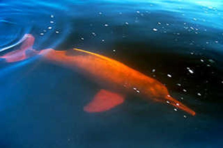 <p>A rare Amazon pink river dolphin.</p>