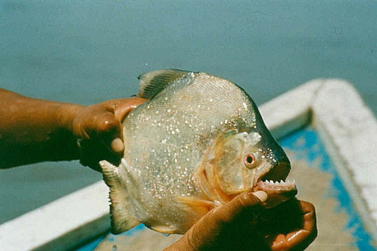 <p>Researchers said that the black piranha may have the world's strongest bite.</p>