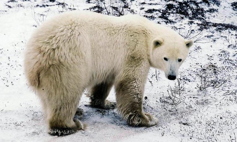 <p>A polar bear waits on the edge of the Hudson Bay near the city of Churchill, Manitoba, Canada, October 10, 2002</p>
