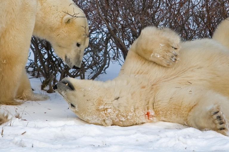 <p>Two polar bears play near Hudson Bay near Churchill, Man. New government research shows more polar bears than once believed, although longtime researchers dispute how the data was collected.</p>
