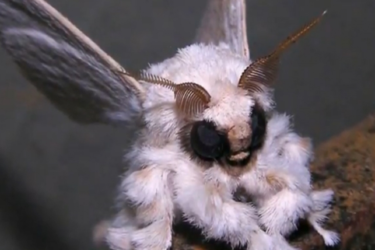 <p>The Venezuelan poodle moth has captured much attention given its bizarre appearance.</p>