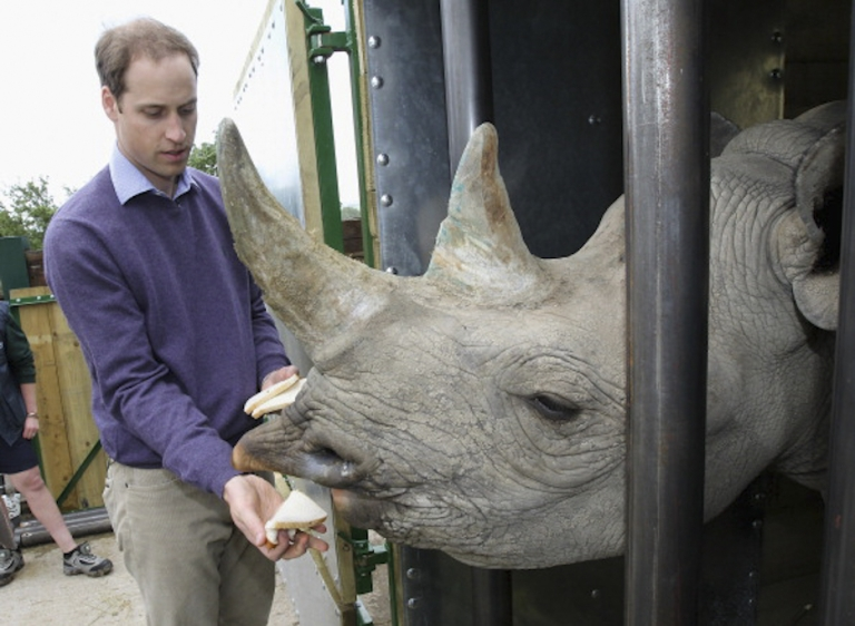 <p>Prince William, Duke of Cambridge feeds a 5 year old black rhino called Zawadi as he visits Port Lympne Wild Animal Park on June 6, 2012 in Port Lympne, England. Prince William, Duke of Cambridge was visiting the park to meet staff and rhinos involved in a translocation project. The Aspinall Foundation along with the Tusk Trust and the George Adamson Trust are combining forces to stage a rare translocation of three captive born black rhino to Mkomazi National Park in Tanzania in order to rejuvenate numbers of the black rhino in the area. The three animals are being airlifted in a dedicated DHL Boeing 757 from Manston Airport in Kent direct to Kilimanjaro Int Airport in Tanzania. The three black rhino have been donated by Damian Aspinall, Chairman of The Aspinall Foundation, from their breeding group at Port Lympne Wild Animal Park in Kent. The reintroduction of endangered species to the wild to assist breeding programmes is a major focus of The Aspinall Foundation. Prince William, Duke of Cambridge as Patron of Tusk Trust and a dedicated campaigner against poaching visited the rhinos at Port Lympne ahead of their translocation and today released a speech via the BBC highlighting his dedication to the fight against the illegal trade of ivory.</p>