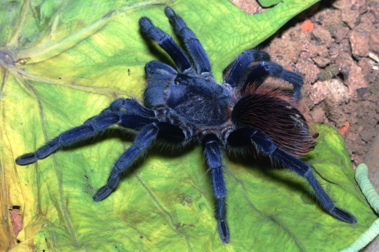 <p>These strikingly blue (and hairy) tarantulas were found in Brazil.</p>