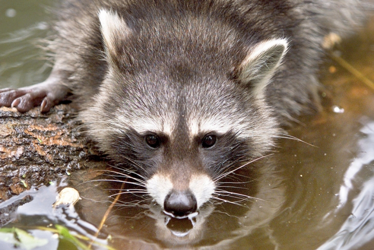 <p>A raccoon swimming in a pond in Worbis, eastern Germany.</p>