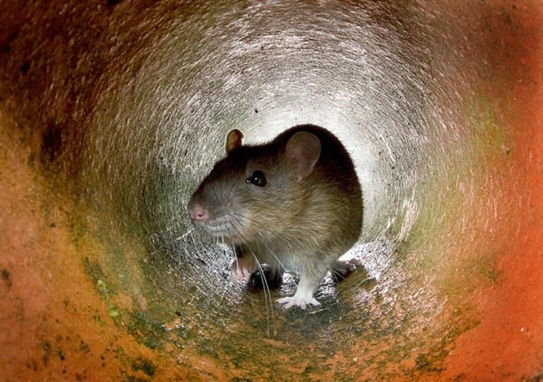 <p>Undated file photo of a rat in a sewer pipe.</p>