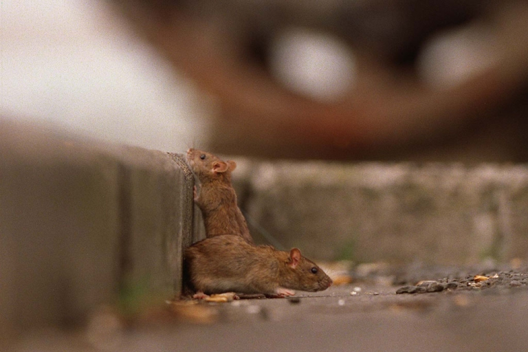 <p>Rats look for food at the Beaumont Street waterfront in Auckland, New Zealand.</p>
