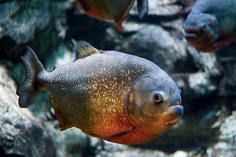<p>A red-bellied piranha, which has a reputation for being very aggressive.</p>