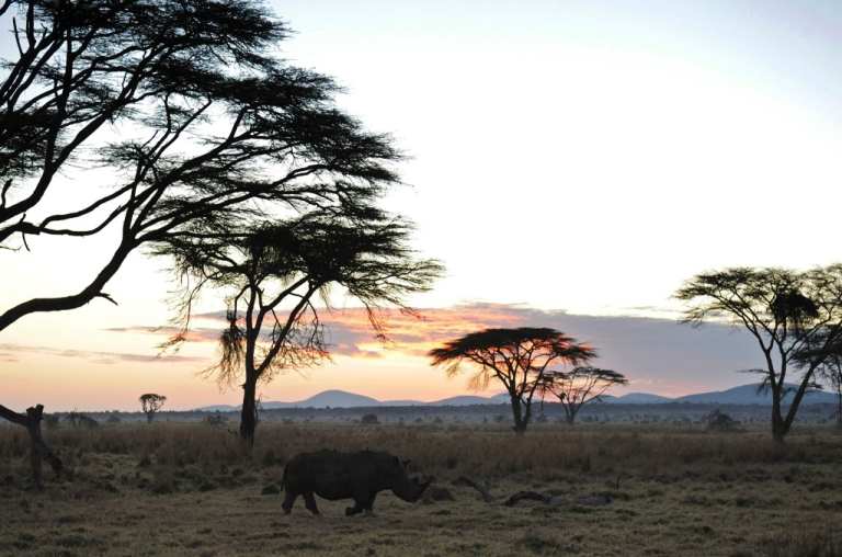 <p>A Rhino grazes during the early morning hours at the Lewa Wildlife Conservancy on December 10, 2010.</p>