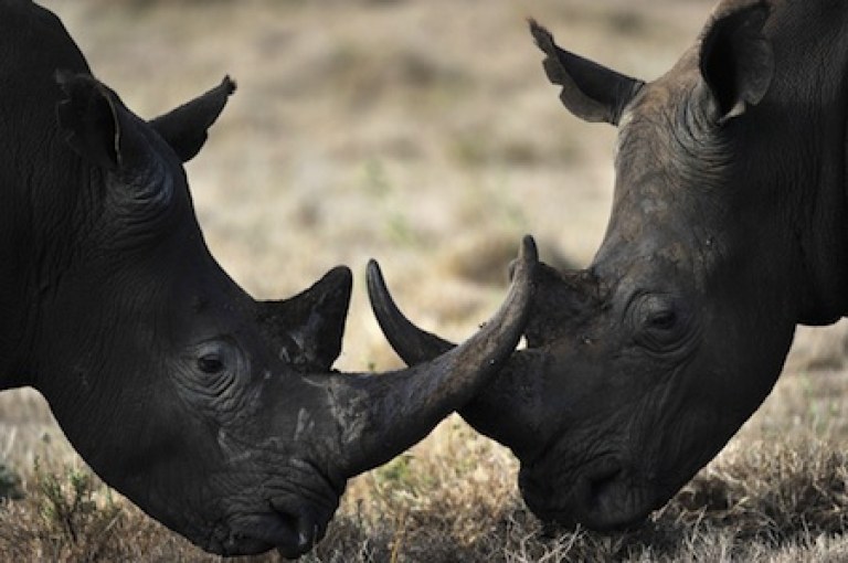 <p>Two male rhinos lock horns playfully while pasturing in the savanah at the Lewa Wildlife Conservancy in Kenya.</p>