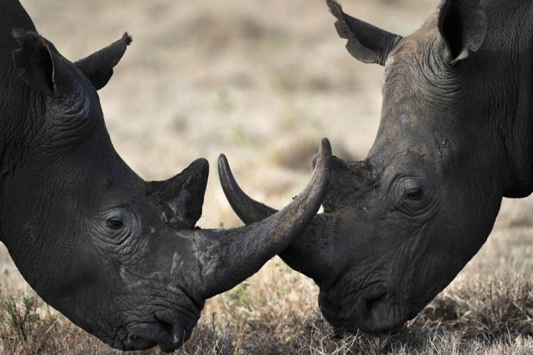<p>Two rhinos playfully lock horns. Some wildlife experts say that controlled hunting is the best way to save the endangered rhino from being poached to extinction.</p>
