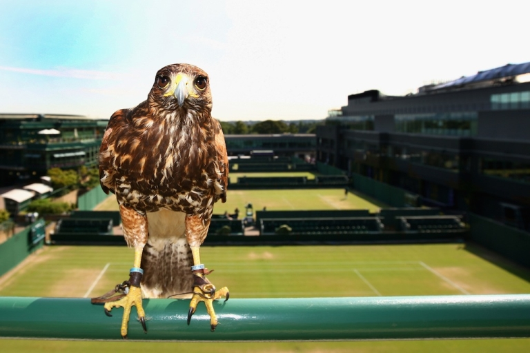 <p>Rufus, Wimbledon's resident Harris Hawk keeps the courts pigeon free on Day Seven of the championships at the All England Lawn Tennis and Croquet Club on June 29, 2009 in London, England.</p>