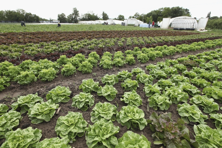 <p>Lettuce grows at the Teltower Ruebchen organic vegetable farm on June 1, 2011 in Teltow, Germany.</p>