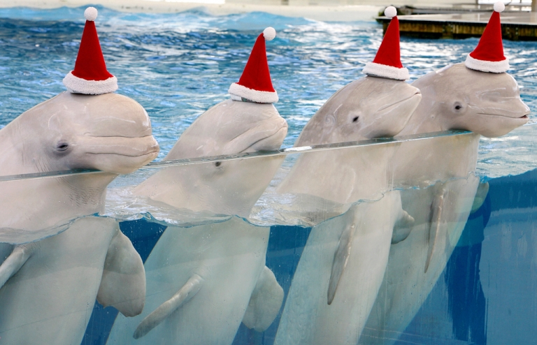 <p>Beluga whales won't be the stars but the audience at a series of summer concerts especially for the sea creatures at the Churchill estuary in Canada's Hudson Bay.</p>