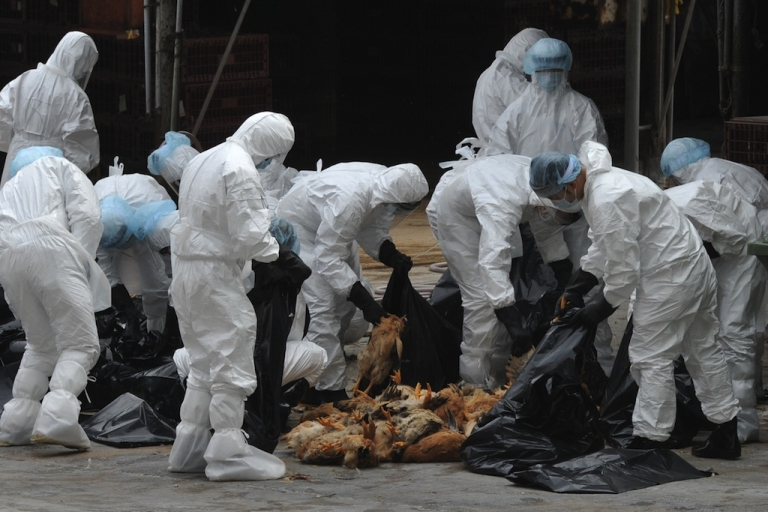 <p>Workers place dead chickens into plastic bags after they were killed at a live chicken distribution centre in Hong Kong on December 21, 2011. Hong Kong culled 17,000 chickens and suspended live poulty imports for 21 days after three birds tested positive for the deadly H5N1 strain of bird flu virus.</p>