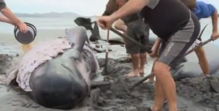 <p>Volunteers help re-float the 40 beached whales in New Zealand.</p>