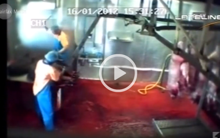 <p>Video from a Sydney slaughterhouse shows apparent extreme cruelty.</p>