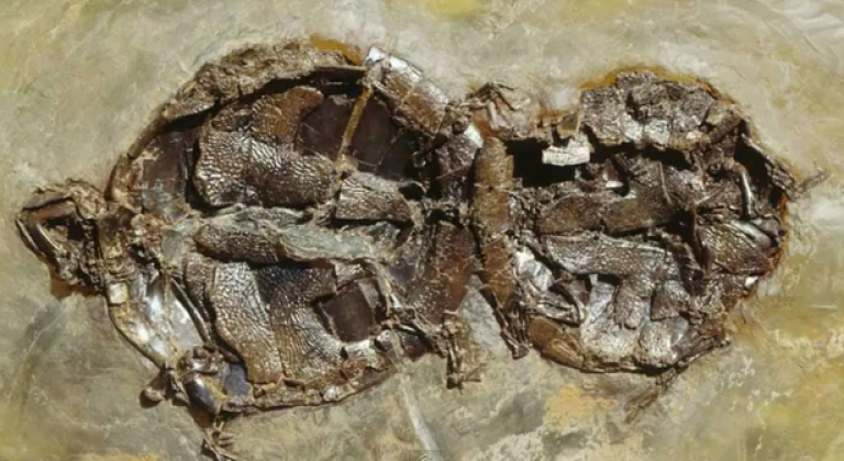 <p>Together... forever. The perfectly preserved fossilized remains of two turtles caught in the act may be up to 47 million years old.</p>