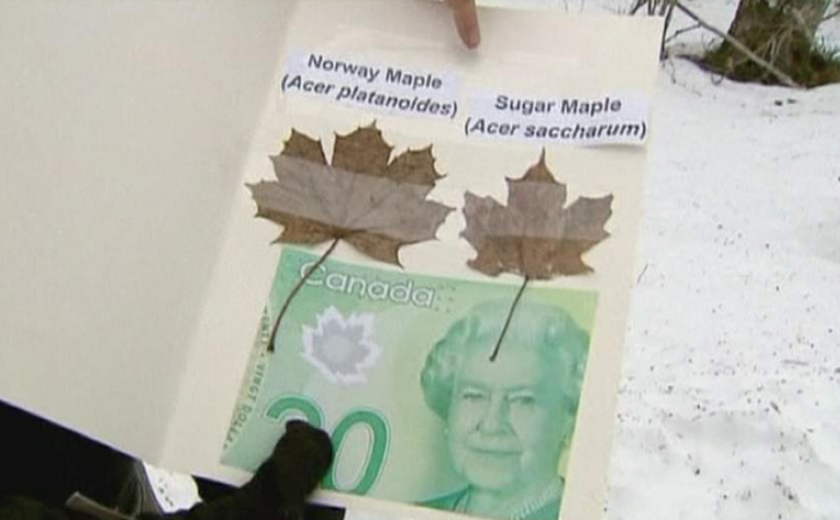 <p>A new $20 note next to the Canadian and Norwegian maple leaves.</p>