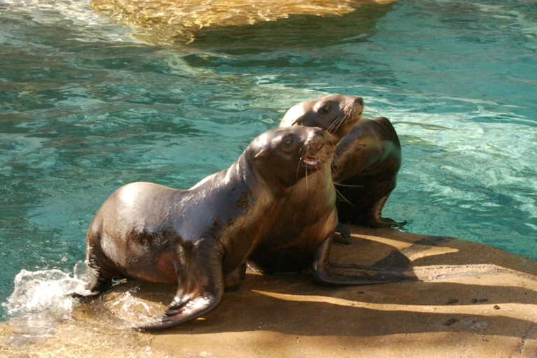 <p>Three four-month-old Steller sea lion pups lie next to a pool at the Vancouver Aquarium October 23, 2003 in Vancouver, Canada. The populations have dropped from 300,000 to 100,00 since 1980.  (Photo by Don MacKinnon/Getty Images)</p>