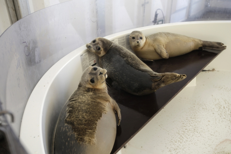 <p>162 seals died off the coast of New England due to a new strain of influenza. Researchers believe this may be a sign that the virus might be capable of transferring to humans.</p>