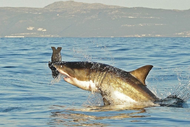 <p>A Great White Shark jumps out of the water as it bites a fake decoy seal near False Bay in South Africa.</p>