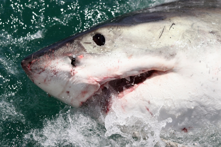 <p>A Great White Shark is attracted by a lure on the 'Shark Lady Adventure Tour' on October 19, 2009 in Gansbaai, South Africa</p>